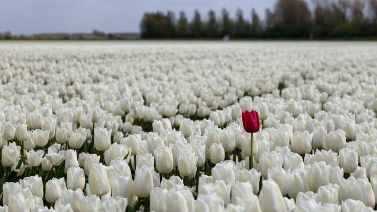 Tulips Fields Sea White Flowers Bokeh Desktop Images
