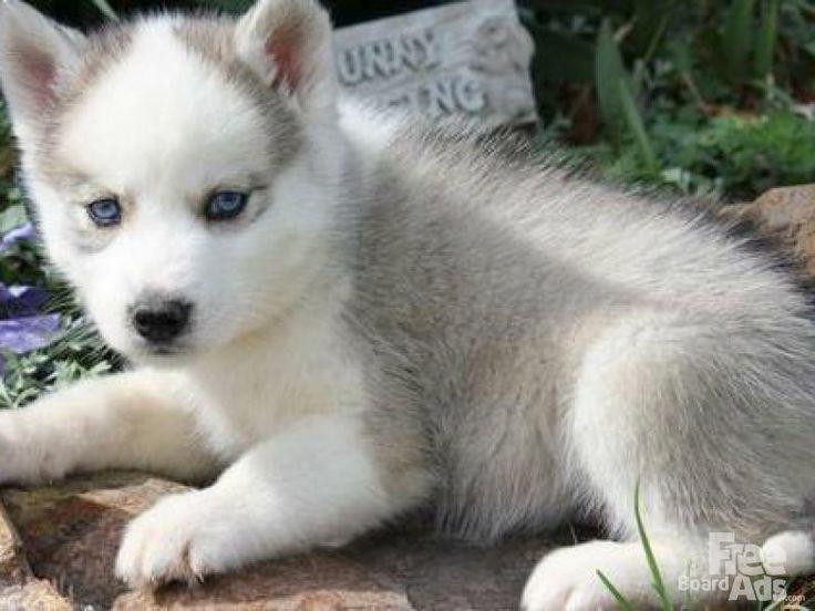 best 25 husky puppies for sale ideas on pinterest