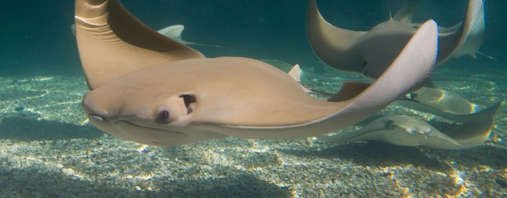 My new favorite animal the cownose sting ray - gorgeous ...