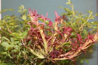 UK - Diseases of Fruit Crops & Ornamentals: Disease-Resistant Knockout Rose Susceptible to Rose Rosette Disease