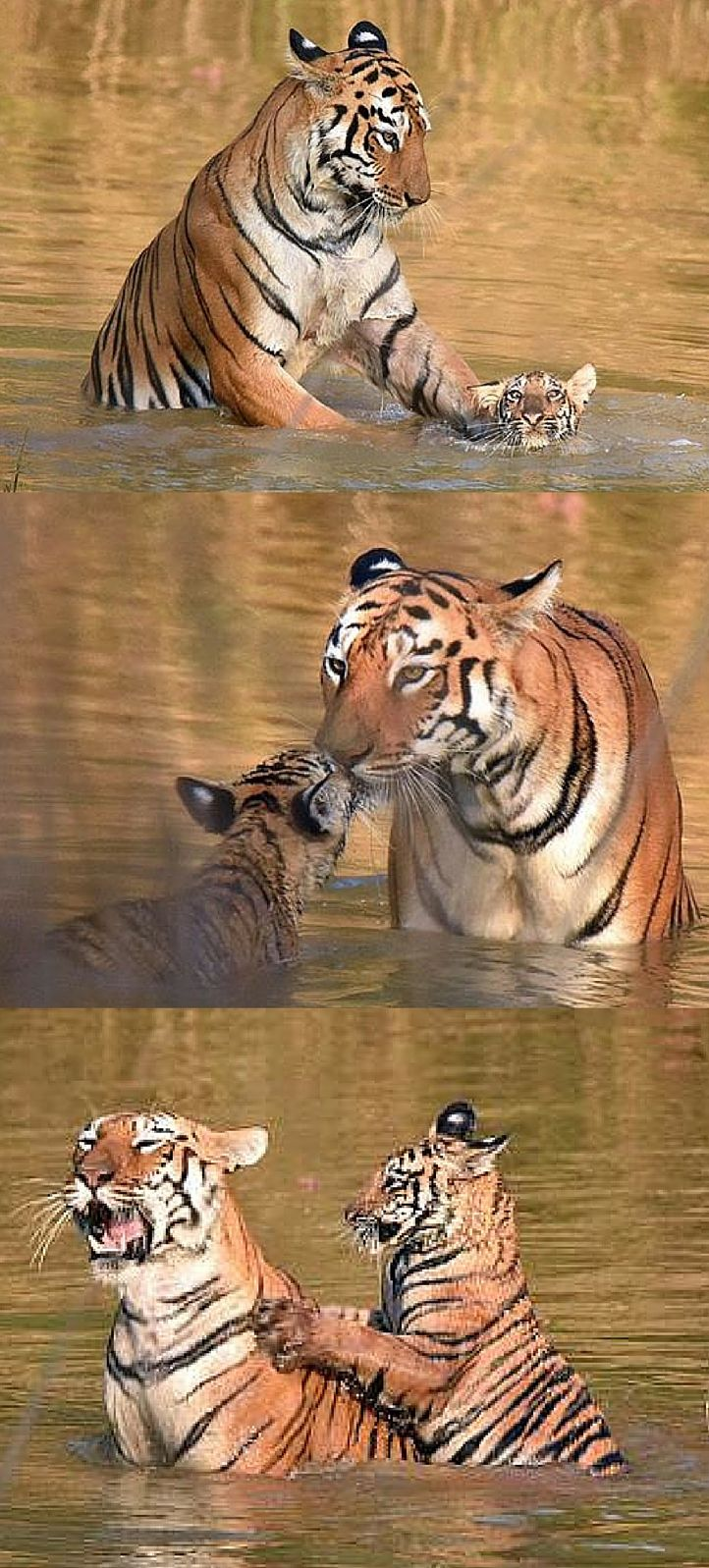 This mother tiger is extremely patient trying to teach her cub about bath time.