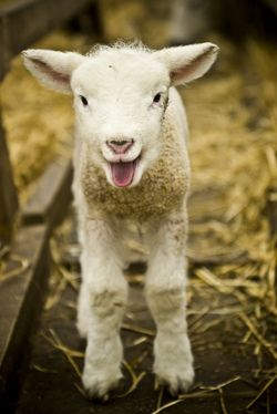 Lamb...I can't wait to learn how to care for these sweet little things!