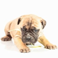 Bullmastiff Puppies for Sale – Expect to love big when you bring home a Bullmast… – PitBull Love