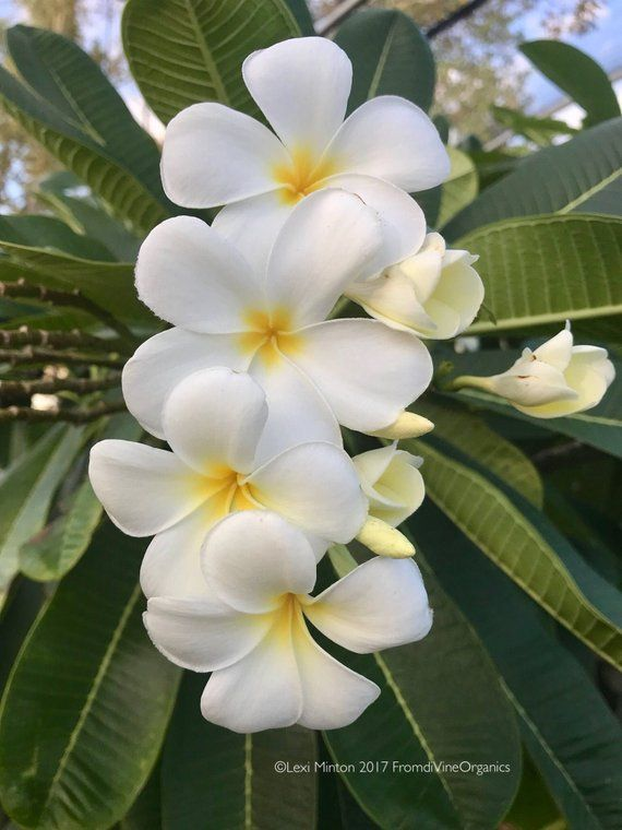 Pin On Plumeria