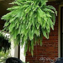 Keep the fern in the same pots they come in, every other day submerge them in a 5 gallon bucket filled with 1/2 cup of epson salts & 3 gallons of regular water until the soil stops bubbling, then hang up to drip dry... ferns will be dark green, glossy, and 3x3 by September from ferns that start out with 7 fronds in May. - MyHomeLookBook