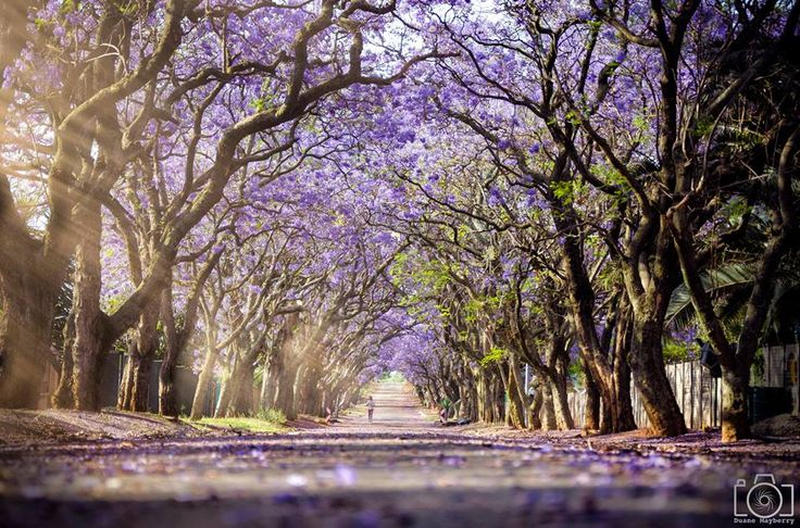 Duane Mayberry Jacaranda Trees in South Africa blooming from October - November#jacaranda#jacarandainyourpocket#johannesburg