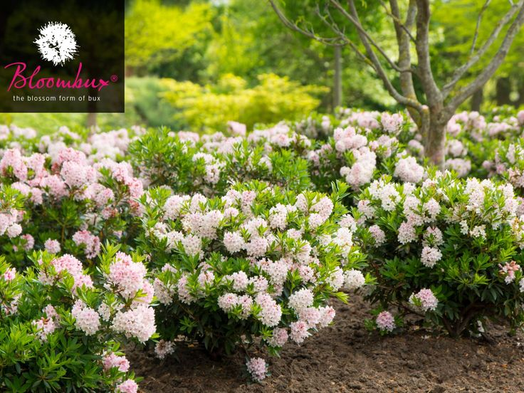 Best Rhododendron Images On Pinterest Flowers Gardens And