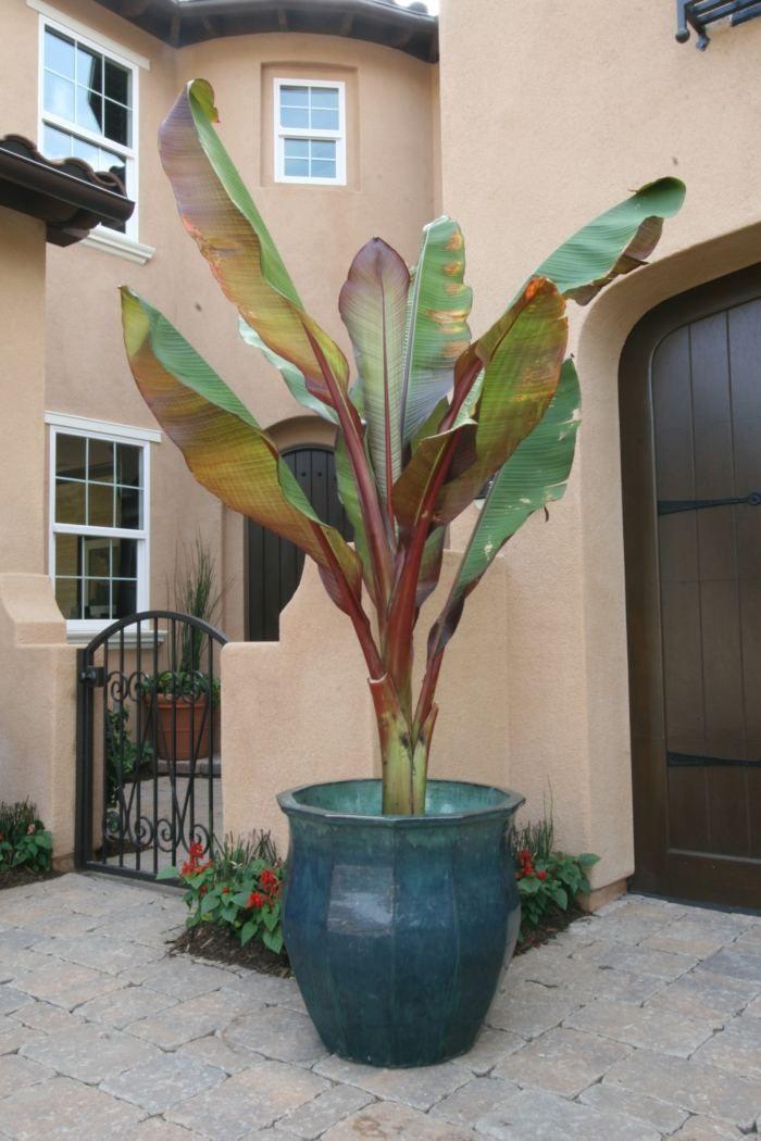 cultive de plante exotique le bananier en pot dans le jardin au jardin pinterest le. Black Bedroom Furniture Sets. Home Design Ideas