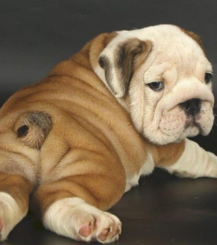 1000 ideas about bulldog anglais on pinterest bulldog puppies dog baby an. Black Bedroom Furniture Sets. Home Design Ideas