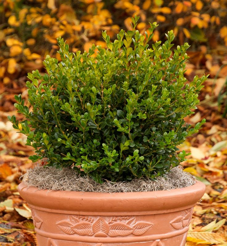 Winter Gem Boxwood - Monrovia - Winter Gem Boxwood