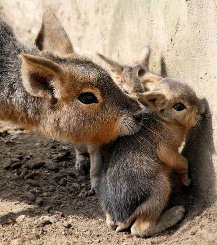 Unbekannte und seltene Tierbabys: Diese Baby-Maras sind wirklich bildhübsch