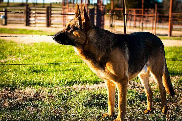 Emmett the #germanshepherd on patrol at the farm. Those cows better toe the line! Love you Emmett!  My buddy my pal my friend.  #brownfootbear #brownfootbearphotography #photography #gunnarwilliamsphotography #gunnwilliams #dog #dogs #dogsofinstagram #dogoftheday #woof #mustlovedogs #withdog #love #boyandhisdog #KansasCity #kc #Kansas #ks #kansasphotos #summer #noplacelikeks #LawrenceKS #dogphotography #mybuddymypalmyfriend #doggiebff