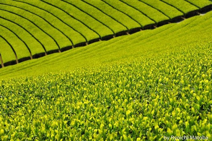 World's Beautiful Landscapes.: Wazuka Green Tea Farms, Japan