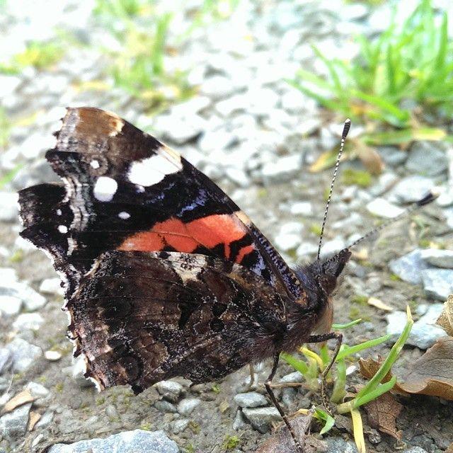Butterfly,macro