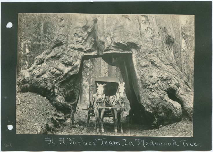 Title: A. A. Forbes' Team in Redwood Tree.        Creator: Forbes, A. A., 1862-1921     Date: ca. 1902-1916  Part Of: Arizona and California, Album  Place: California  Physical Description: 1 photographic print: gelatin silver; 11 x 16 cm. on 14 x 20 cm. mount  File: ag1996_1041_21_redwood_opt.jpg              Rights: Please cite DeGolyer Library, Southern Methodist University when using this file. A high-resolution version of this file may be obtained for a fee. For details see the sites...