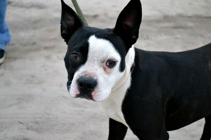 Boston Terrier and Boxer mis - Saferbrowser Yahoo Image Search Results