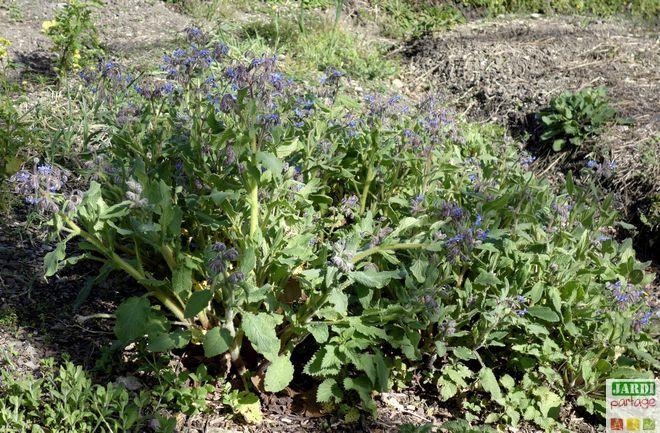 La bourrache fait partie des plantes indispensables au potager. Ses fleurs attirent les insectes pollinisateurs