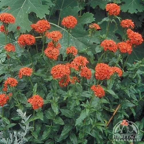 Maltese Cross Lychnis chalcedonica Plants, Perennials
