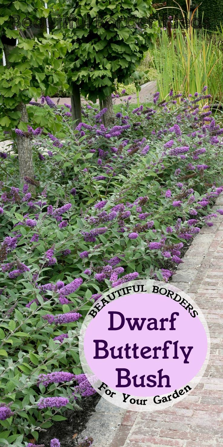 Great idea: dwarf butterfly bush and it's non-invasive. Bees, butterflies, and hummingbirds love it. Looks lovely along a pathway.