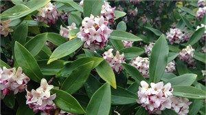 Poyntons Nursery and garden centre| Daphne odora
