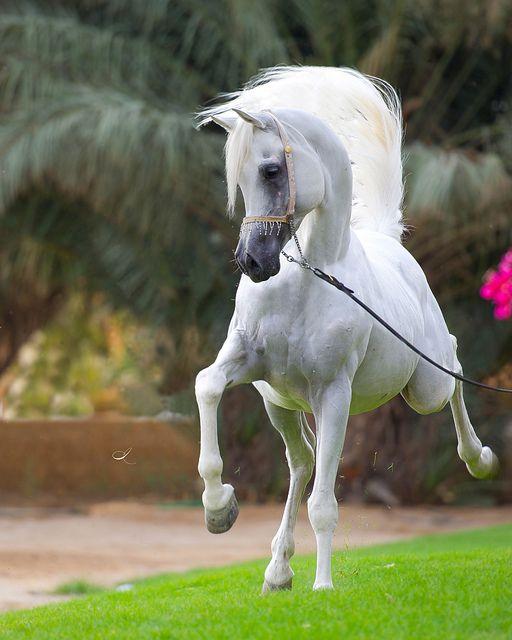 Straight Egyptian Arabian Stallion by Khaled AlMutairi, via Flickr