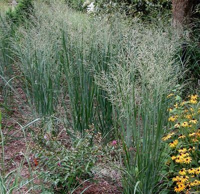 1000 images about ornamental grasses on pinterest for Ornamental prairie grass