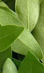 Benefici dell'alloro per la salute   vivere verde