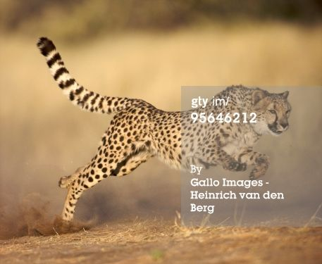 Stock Photo : Cheetah (Acinonyx jubatus) running at full speed, Namibia.