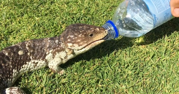 Thirsty Lizard Asks For A Drink Of Water