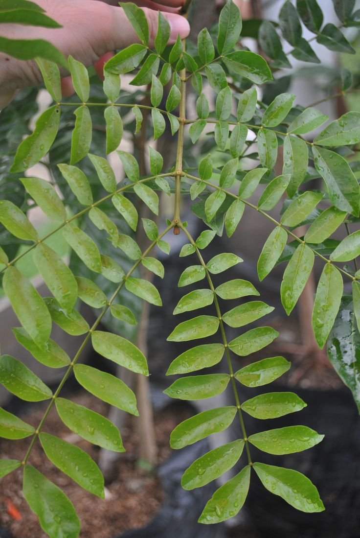 24 best native plants philippines images on pinterest