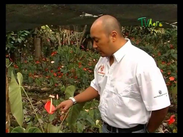 M s de 25 ideas incre bles sobre flores tropicales en for Jardines de anturios