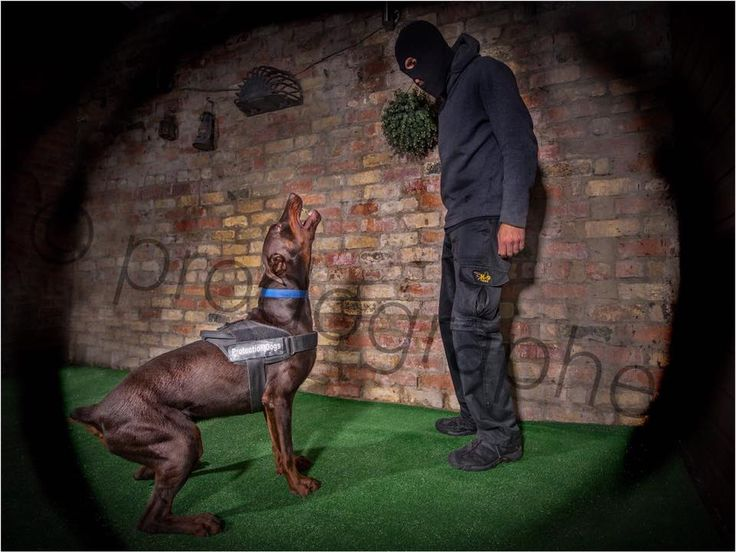 I warned you not to move ! 12 month old #Luga #Brown #Doberman one of the elite dogs here at the #OFFICIAL protection dogs worldwide  Www.protectiondogs.co.uk #PDW