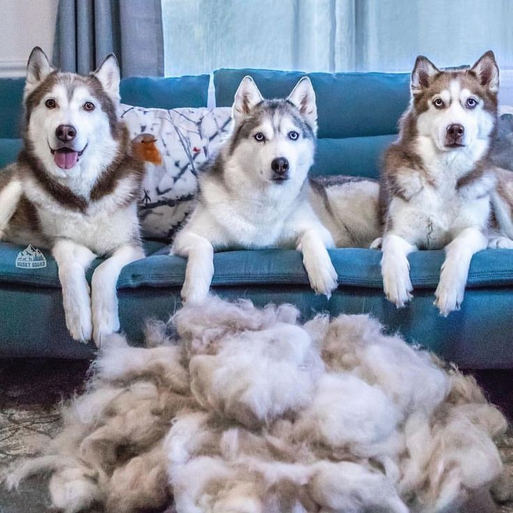 "1,291 Likes, 11 Comments - Lovely husky (@husky.lovely_) on Instagram: ""husky is my favourite dog ever follow us for more @husky.lovely_ ************ |by @thehuskiez…"""