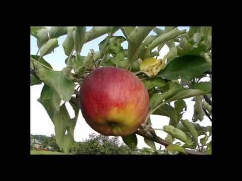 Фрукты в моем саду - YouTube