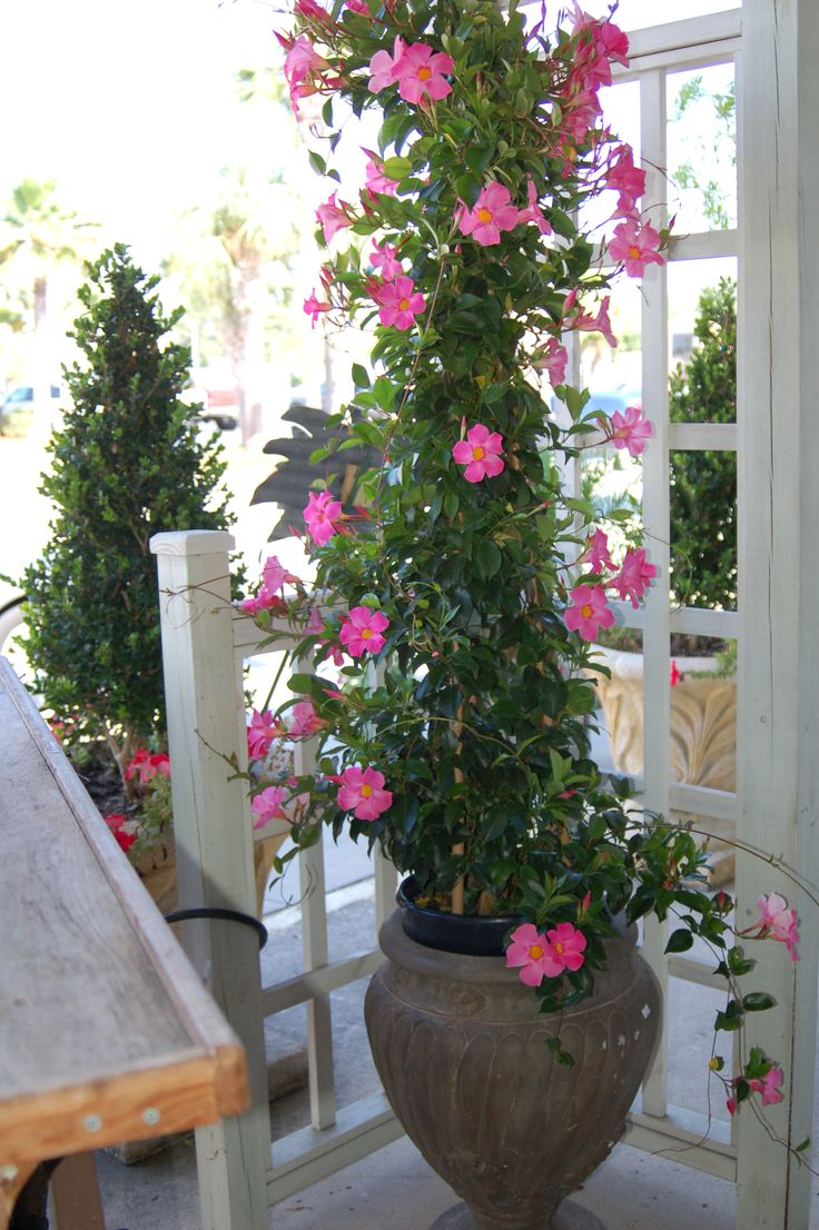 Mandevilla vines. Those are so beautiful. I would love to plant them.