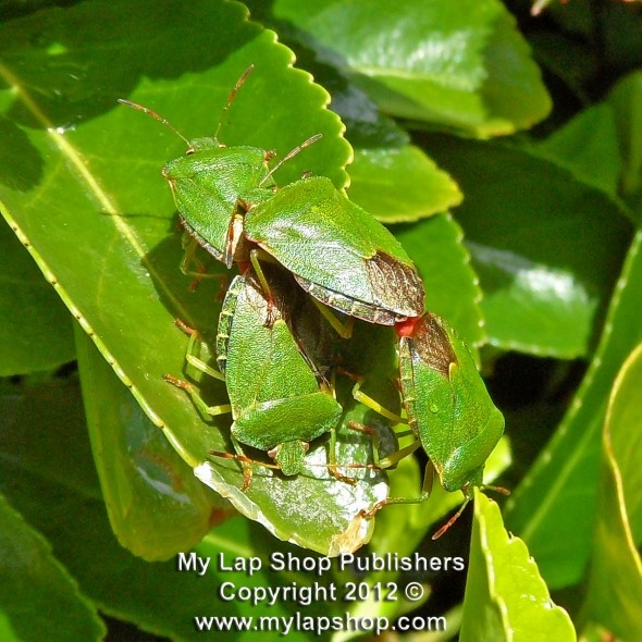 Photo of a double-decker Green Shield Bugs mating. #greenshieldbugs #insects http://photographlibrary.wordpress.com
