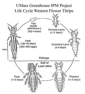 Life cycle of Western Flower Thrips