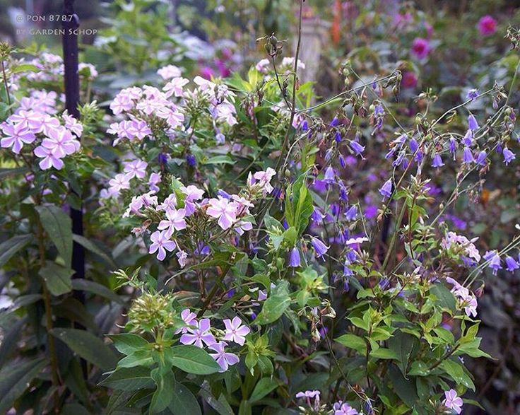 庭にて In my garden ツリガネニンジン と フロックス Adenophora and Phlox ・ 何度か返り咲きしてる フロックスと一緒に ・ ☁️☂28/21℃