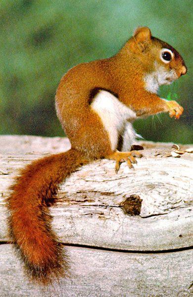 American Red Squirrel | Photo: American Red Squirrel, Tamiasciurus hudsonicus.