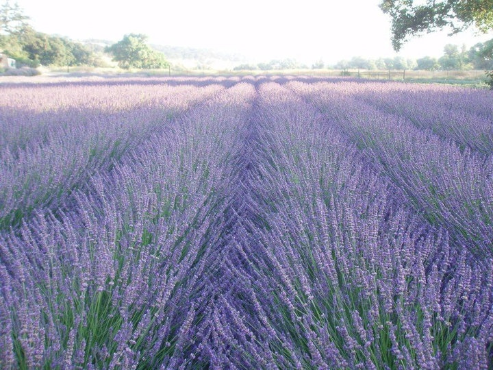 An amazing view looking south here at our lavender farm in Paso Robles during bloom - Central Coast Lavender Farm. They have an annual festival in July.