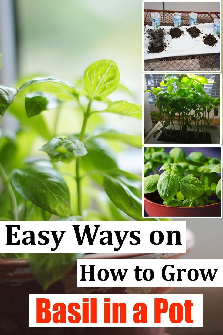 how to grow basil from seed in containers