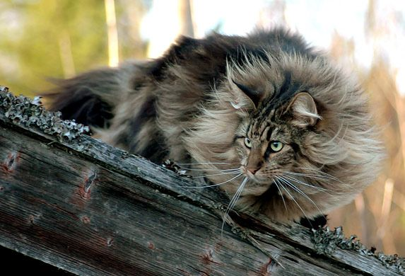 """""""A cat is an example of sophistication minus civilization."""" --Author Unknown"""