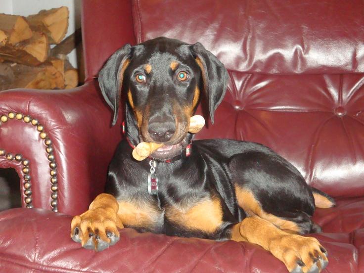 royal doberman puppy on her thrown