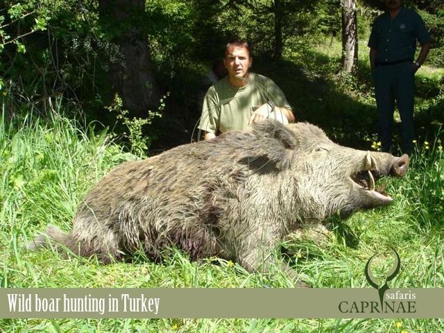 Wild boar hunting in Turkey http://riflescopescenter.com/nikon-monarch-review/