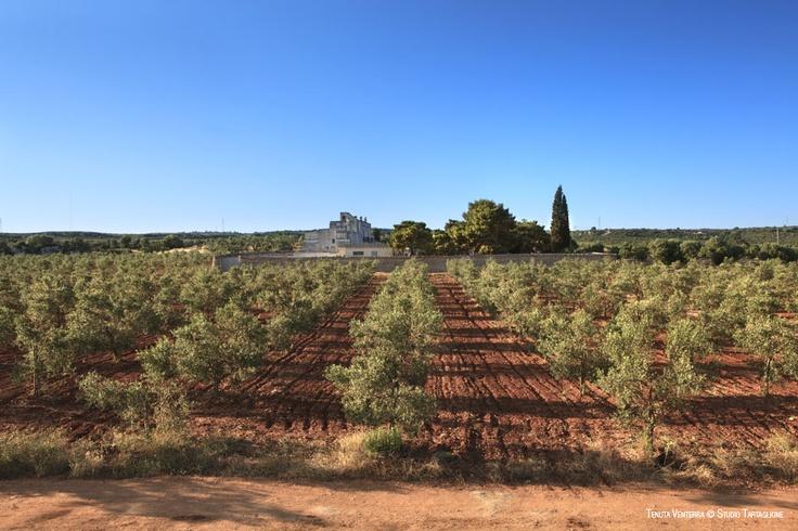 #VENTERRA. L'#affascinante #Puglia: terra di #uliveti e #masserie