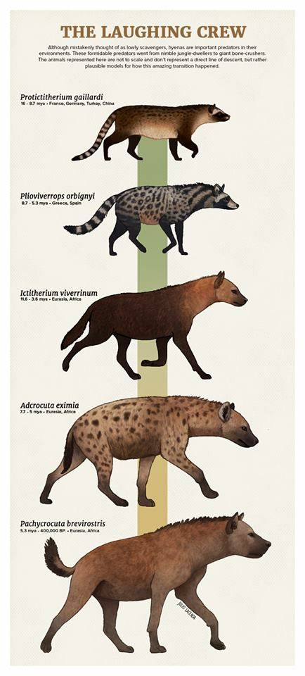 Image of: Vector Hyena Evolution Paleo Foods Prehistoric Animals Prehistoric Extinct Animals Teachers Pay Teachers Hyena Evolution Paleo Foods Prehistoric Animals Prehistoric