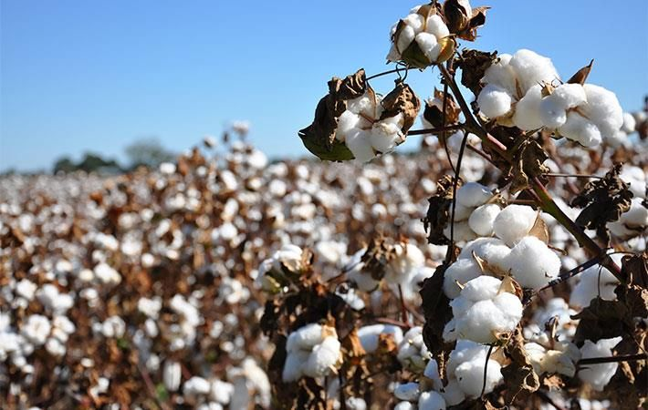Australia : CSD starts construction work on new cotton seed plant - Textile News Australia