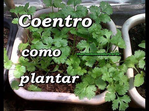 Como Plantar Coentro? | Receita natural