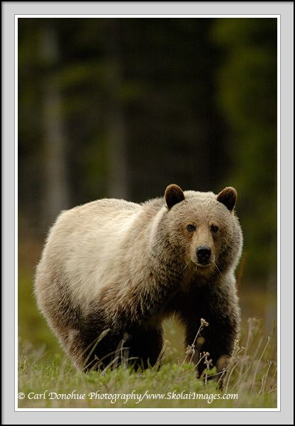 Grizzly bear, Canadian Rockies, Kananaskis Country, Canada