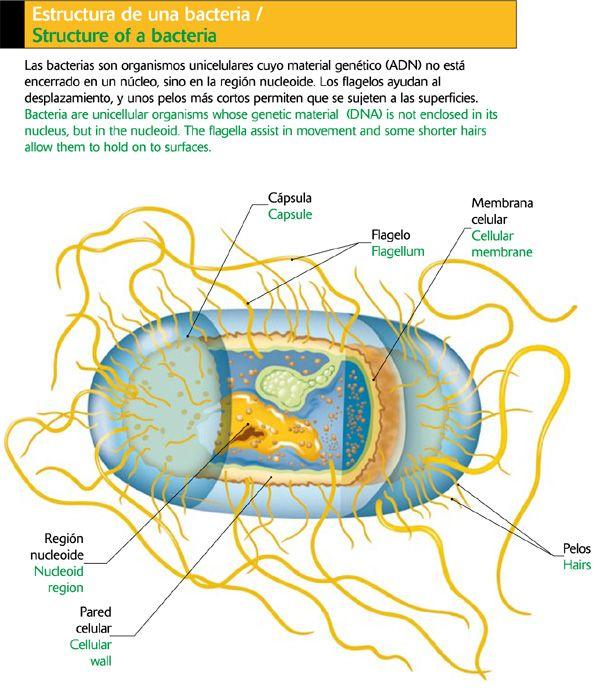 Estructura de una bacteria: Hands, Bacteria Cuerpo Humano